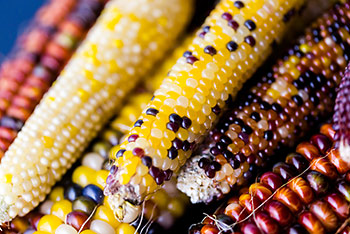 colorful corn varieties