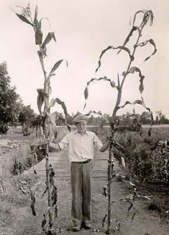 heirloom cornstalks