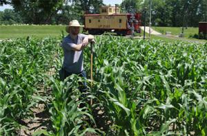 Heirloom corn fest field